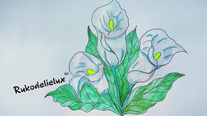 готовый рисунок цветка каллы красками и карандашом
